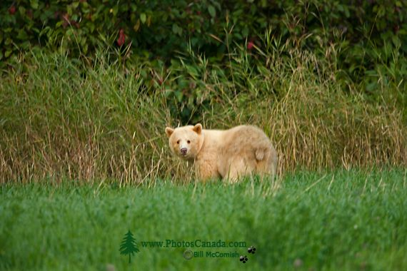 Spirit Bear, Northern British Columbia, Canada CM11-07