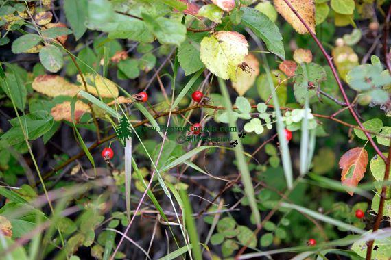 Spooky's Berries, Northern British Columbia, Canada CM11-13