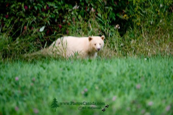 Spirit Bear, Northern British Columbia, Canada CM11-04  All images of this Spirit Bear were taken from a long distance as darkness approached, and with very little natural light left.