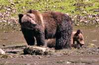 Female Grizzly Bear and Cub, Khutzeymateen Grizzly Bear Sanctuary, British Columbia, Canada CM11-28