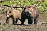 Female Grizzly Bear and Cub, Khutzeymateen Grizzly Bear Sanctuary, British Columbia, Canada CM11-27