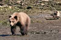 Grizzly Cub, Khutzeymateen Grizzly Bear Sanctuary, British Columbia, Canada CM11-61