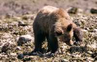 Grizzly Cub Foraging, Khutzeymateen Grizzly Bear Sanctuary, British Columbia, Canada CM11-52