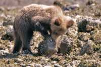 Grizzly Cub Foraging, Khutzeymateen Grizzly Bear Sanctuary, British Columbia, Canada CM11-51