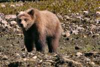 Grizzly Cub, Khutzeymateen Grizzly Bear Sanctuary, British Columbia, Canada CM11-50