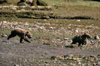 Grizzly Cubs Playing, Khutzeymateen Grizzly Bear Sanctuary, British Columbia, Canada CM11-49