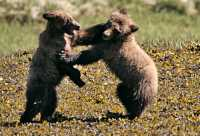 Grizzly Cubs Playing, Khutzeymateen Grizzly Bear Sanctuary, British Columbia, Canada CM11-48