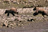 Grizzly Cubs Playing, Khutzeymateen Grizzly Bear Sanctuary, British Columbia, Canada CM11-46