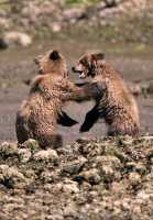Grizzly Cubs Playing, Khutzeymateen Grizzly Bear Sanctuary, British Columbia, Canada CM11-45