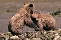Grizzly Cubs Playing, Khutzeymateen Grizzly Bear Sanctuary, British Columbia, Canada CM11-44