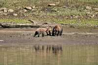 Grizzly Family, Khutzeymateen Grizzly Bear Sanctuary, British Columbia, Canada CM11-42