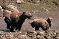 Grizzly Family, Khutzeymateen Grizzly Bear Sanctuary, British Columbia, Canada CM11-36