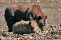 Female Grizzly Bear and Cub, Khutzeymateen Grizzly Bear Sanctuary, British Columbia, Canada CM11-33