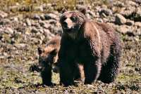 Female Grizzly Bear and Cub, Khutzeymateen Grizzly Bear Sanctuary, British Columbia, Canada CM11-32