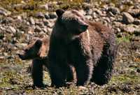Female Grizzly Bear and Cub, Khutzeymateen Grizzly Bear Sanctuary, British Columbia, Canada CM11-31