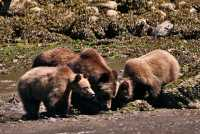 Grizzly Family, Khutzeymateen Grizzly Bear Sanctuary, British Columbia, Canada CM11-29