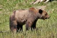 Male Grizzly Bear, Khutzeymateen Grizzly Bear Sanctuary, British Columbia, Canada CM11-13