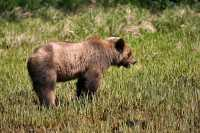 Male Grizzly Bear, Khutzeymateen Grizzly Bear Sanctuary, British Columbia, Canada CM11-12