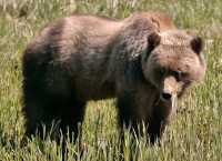 Male Grizzly Bear, Khutzeymateen Grizzly Bear Sanctuary, British Columbia, Canada CM11-10