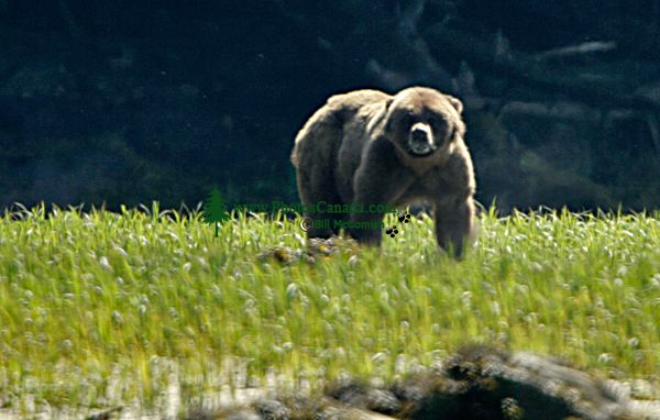 Male Grizzly Bear, Khutzeymateen Grizzly Bear Sanctuary, British Columbia, Canada CM11-02