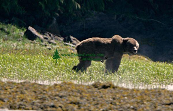 Male Grizzly Bear, Khutzeymateen Grizzly Bear Sanctuary, British Columbia, Canada CM11-05