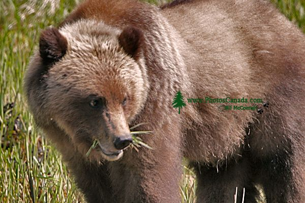 Male Grizzly Bear, Khutzeymateen Grizzly Bear Sanctuary, British Columbia, Canada CM11-09