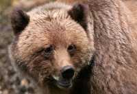 Male Grizzly Bear, Khutzeymateen Grizzly Bear Sanctuary, British Columbia, Canada CM11-08