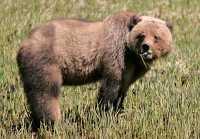 Male Grizzly Bear, Khutzeymateen Grizzly Bear Sanctuary, British Columbia, Canada CM11-07