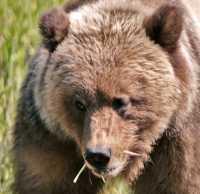 Male Grizzly Bear, Khutzeymateen Grizzly Bear Sanctuary, British Columbia, Canada CM11-06