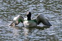 Highlight for Album: Loon Photos, Canadian Wildlife Stock Photos