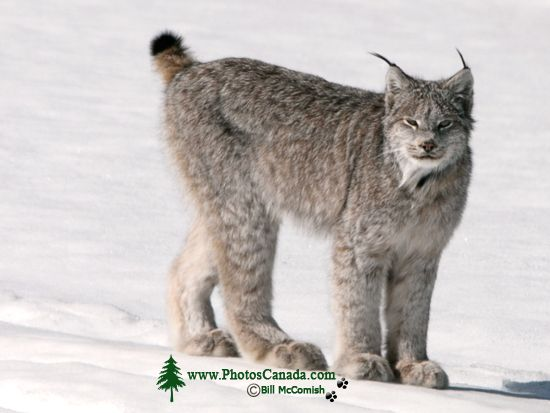 Lynx, Northern British Columbia CM11-01