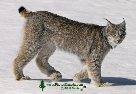 Lynx, Northern British Columbia CM11-02