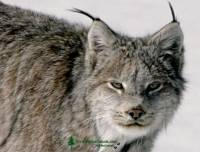 Highlight for Album: Lynx Photos, Northern British Columbia, Canada, Canadian Wildlife Stock Photos