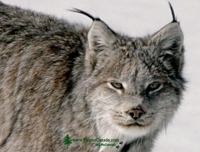 Lynx, Northern British Columbia CM11-03
