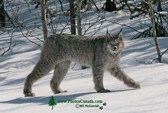 Lynx, Northern British Columbia CM11-05