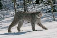 Lynx, Northern British Columbia CM11-05