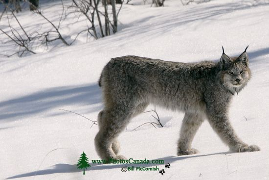 Lynx, Northern British Columbia CM11-06