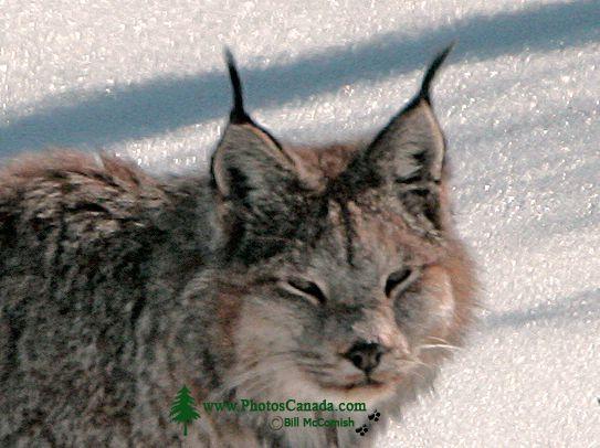 Lynx, Northern British Columbia CM11-07