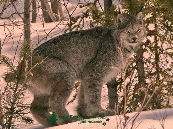 Lynx, Northern British Columbia CM11-08
