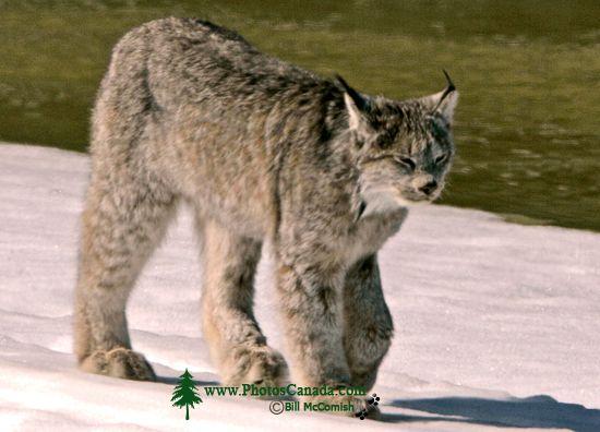 Lynx, Northern British Columbia CM11-09