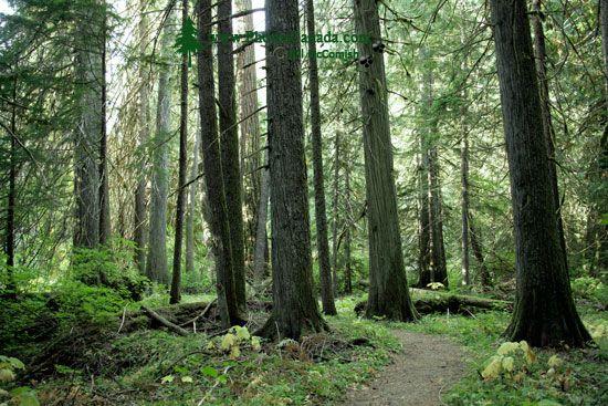 Sumallo Grove, Manning Park, British Columbia, Canada CM11-08