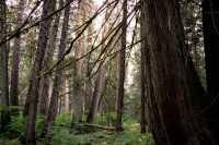 Sumallo Grove, Manning Park, British Columbia, Canada CM11-07