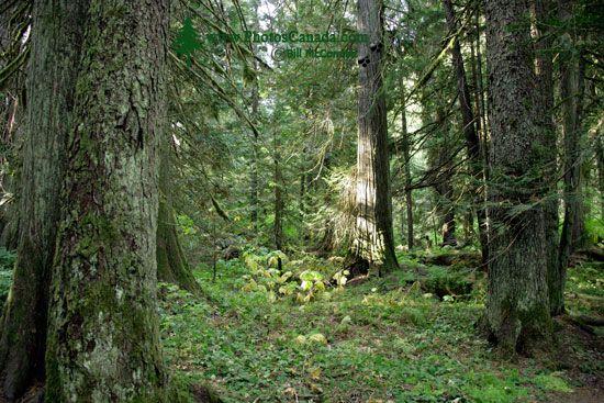 Sumallo Grove, Manning Park, British Columbia, Canada CM11-05