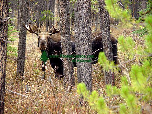 Moose 02
