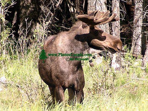 Moose 08