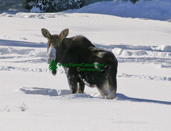 Moose CM11-10