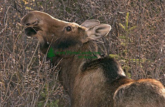 Moose CM11-11