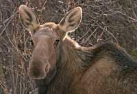 Moose CM11-12
