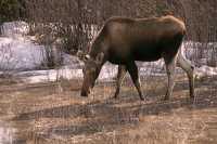 Moose CM11-13