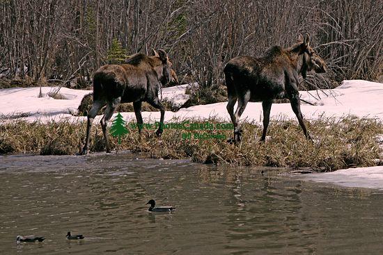 Moose CM11-15